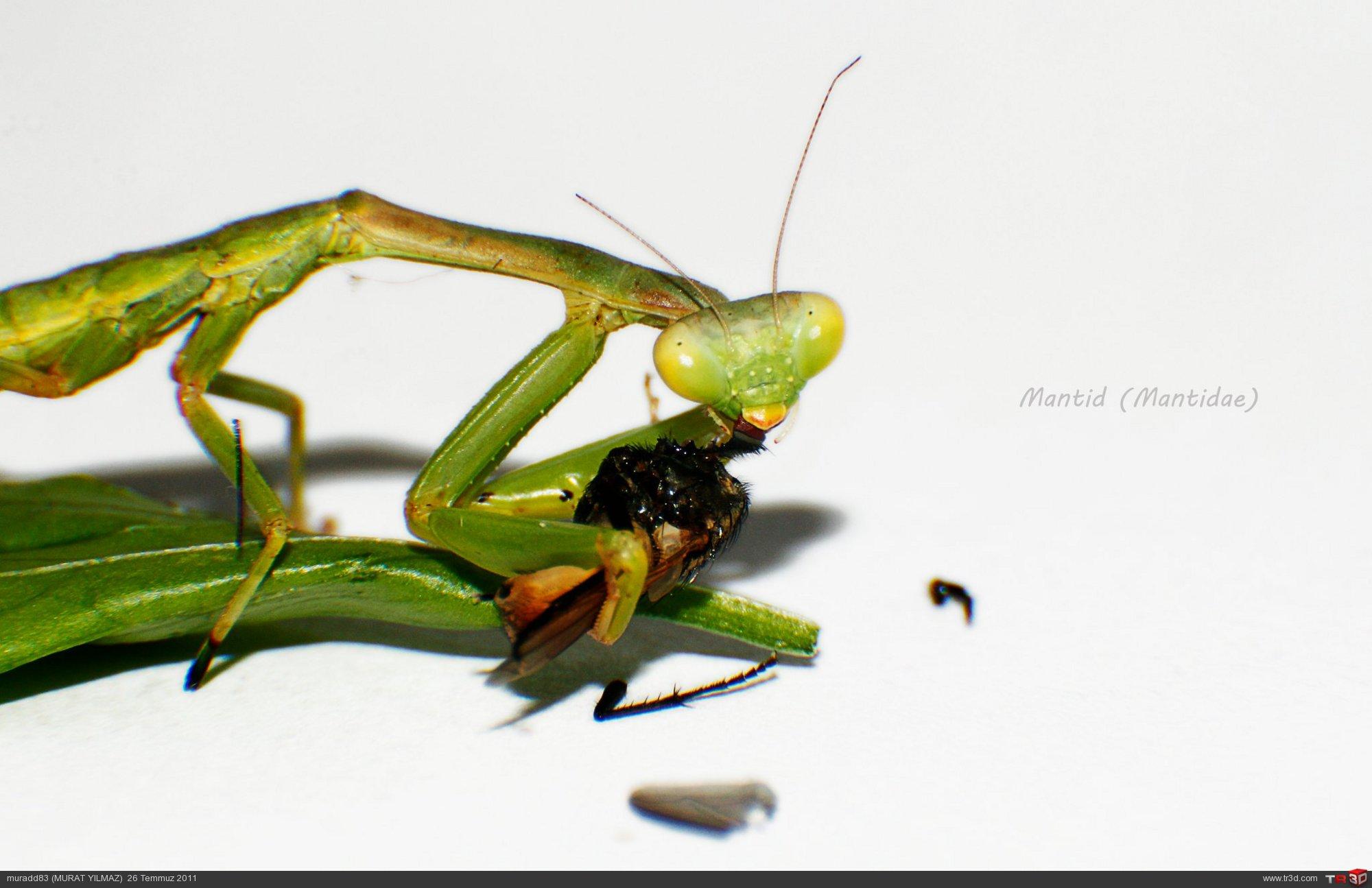 Mantid (Mantidae)-1