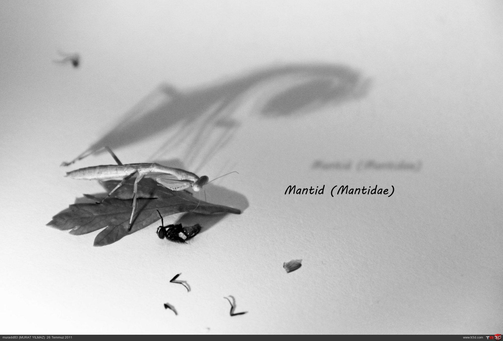 Mantid (Mantidae)-1 1