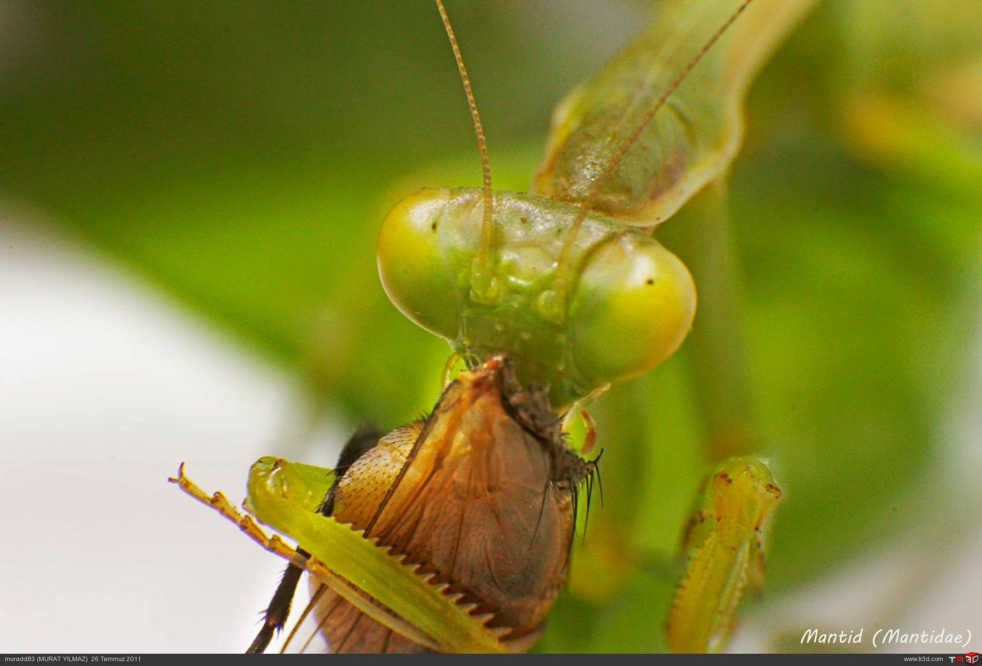 Mantid (Mantidae)-1 2