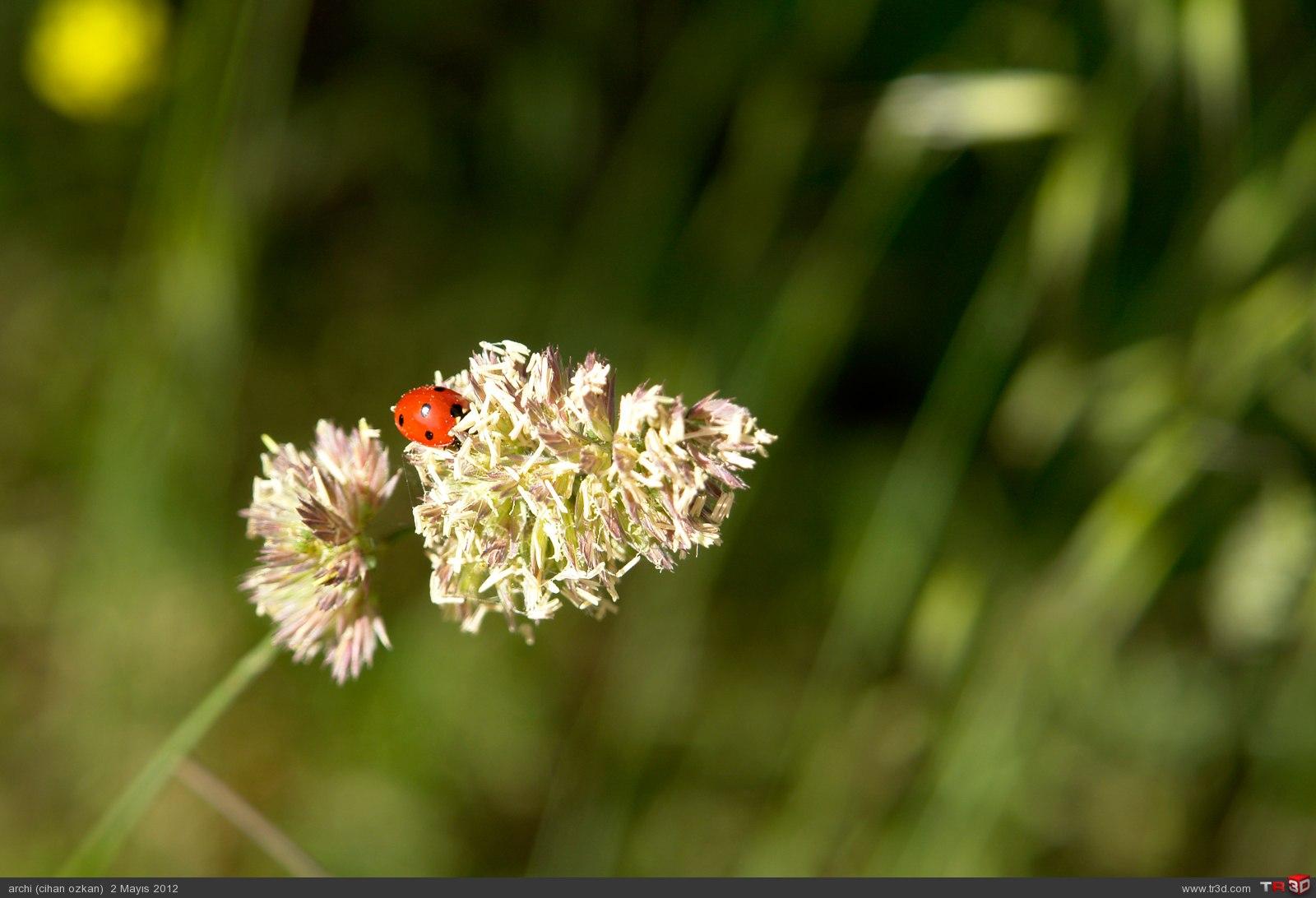 çiçek böcek 6