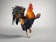 CGI Rooster