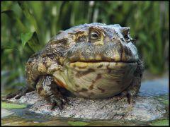 Afrika Kurbağası
